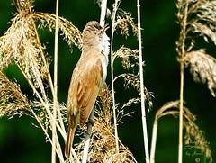 Great reed warbler (Jurek.P) Tags: greatreedwarbler birds bird trzciniak ptaki ptak closeup warsaw warszawa poland polska kępapotocka park jurekp sonya77