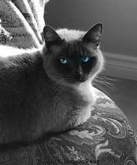 Whitewalker (fishmonger45) Tags: cats got siamese photoshop greatphotographers