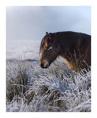 Solace (www.neilburnell.com) Tags: horse pony dartmoor snow frost moors neil burnell wwwneilburnellcom