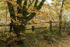 Photo of Autumn beech