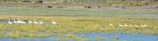 Greater Flamingo Sacred Ibis and Lesser Flamingo Langebaan