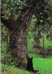 Balck Cat By Tree (mrsris) Tags: postcard cat blackcat tree
