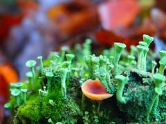MICROWELTEN IM WALD PB190654 (hans 1960) Tags: outdoor nature natur wald forrest moos gras pilz laub blätter leaves green grün flechten november colour farbe macro wurzel home heimat