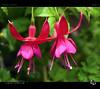 Dancing Twins (tomraven) Tags: flower macro flowermacro macroflowers flowers tomraven aravenimage q42017 lumix gh3 red green bokeh light