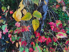 (iluveasycheese) Tags: woods nature leaf leaves colors autumn fall