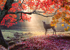 Nara Park Scene (Luc Stadnik) Tags: nara japan park fall deer paradise heaven light sunrise sunbeams autumn leaves red tree