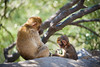 Training Them Young (RoamingTogether) Tags: 70200vrii barbaryape barbarymacaque europe gibraltar macaque magot nikon nikon7020028 nikond700 rockofgibraltar