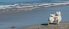2017 - 11_25 - Wide - Animals - Dogs - Sushi_Angus 04.jpg (stevenlazar) Tags: largs beachwater sand northhaven puppy 2017 ocean australia dog water animals adelaide white southaustralia scottishterrier