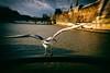 Un joli déhanché (Calinore) Tags: paris city ville bird oiseau seagull mouette pontdesarts nature animal seine bridge pont river fleuve quaisdeseine