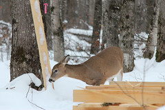 Potential Customer? (view2share) Tags: november122017 november2017 november 2017 deansauvola whitetail whitetaildeer deer snow snowfall snowcover wilderness wildlife michigan mi upperpeninsula uppermichigan northernmichigan northwoods northwood tracking track trace tracing autumn fall winter brouse brousing outdoors houghtoncounty ottawanationalforest woods wood forest rural animal doe fawn yearling visitor reserve