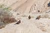 DSC_6482 (Kjell Arild Dokka) Tags: aquila nipalensis rovfugler steppeørn iran bandarabbas kostargah