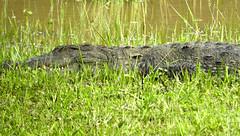Yala Safary Park. The crocodiles is looking for food (Maurizio Esitini) Tags: crocodiles yala park safari sri lanka nikon wild p610