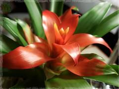Light red mysterious flower [explored] (Ola 竜) Tags: red flower orange petals green leaves plant macro floral composition warmlight dof focus bokeh s7 bromelia guzmanialingulata guzmania bromeliad colorful scarletstar