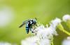 Cuckoo Bee (SaiKiranKanuri) Tags: cuckoobee cuckoo bee lalbagh busy working