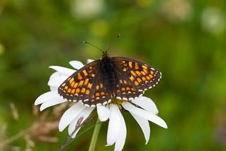 Heath Fritillary on a Daisy flower