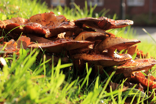 """Hallimasche (Armillaria) (11) • <a style=""""font-size:0.8em;"""" href=""""http://www.flickr.com/photos/69570948@N04/38111557236/"""" target=""""_blank"""">View on Flickr</a>"""