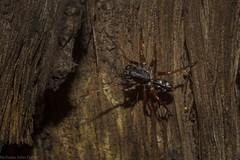 Euasteron enterprise? (dustaway) Tags: arthropoda arachnida araneae araneomorphae zodariidae euasteron antspider tamborinemountain mounttamborine australianspiders spideronbark spinne araignee