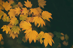 yellow maple leaves (annapolis_rose) Tags: mapleleaves autumn autumncolors autumnleaves fallleaves ubc campus