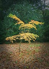 IMG_0649 (bob_rmg) Tags: perrow arboretum tree autumn colour leaves bedale thorp