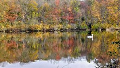 Reflections (dylangaughan43) Tags: lg cameraphone pond reflection swan fauna trees fall fallcolors calm newyork longisland beauty relaxed