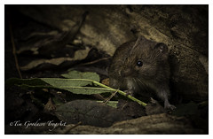 Intrepid explorer (Bank Vole) (timgoodacre) Tags: vole bank rodent water nature