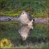 Sparrowhawk (image 3 of 3) (Full Moon Images) Tags: rspb sandy lodge thelodge wildlife nature reserve bedfordshire bird birdpfprey wash washing bathing pool reflection sparrowhawk