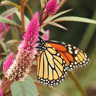 Monarch on Celosia