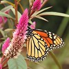 Monarch on Celosia (AngelVibePhotography) Tags: northcarolina celosia outdoor nikon flower colorful closeup autumncolors animals insects outdoors flowers garden arthropods butterfly nature wildlife photography monarch butterflies monarchbutterfly animal insect macro orange brightcolors nikonp900
