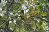 Trogon surrucura femelle, posée sur une branche