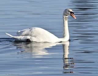 Swan Reflection #3