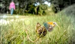 Balade en novembre. (*Jost49*) Tags: campagne paysage landscape promenade walk papillon butterfly argus plante ombellifère umbelliferous texture topaz panasonic lumixfz1000 inexplore
