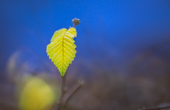 tender leaf (Dhina A) Tags: a7rii ilce7rm2 a7r2 tamron sp 350mm f56 tamronsp350mmf56 prime ad2 adaptall2 mirrorlens 06b catadioptric reflex cf tele macro sony tender young leaf