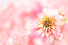 Sharp petals contrasted with fluffy pink... (Tomo M) Tags: petal bokeh pink autumn dof flora outdoor