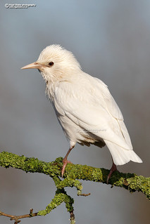Common Starling, Sturnus vulgaris, white morph