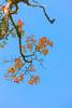_J5K1709.1111.Hoàng Liên Sơn.Sapa.Lào Cai. (hoanglongphoto) Tags: asia asian vietnam northvietnam northwestvietnam nature tree maple mapletree hardwood redmaple sky bluessky canon canoneos1dsmarkiii canonef70200mmf28lisiiusm tâybắc làocai sapa fansipan hoàngliênsơn dãyhoàngliên núihoàngliên thiênnhiên câyphong câyphongđỏ bầutrời bầutrờixanh
