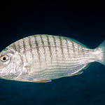 Striped Seabream - Lithognathus mormyrus thumbnail