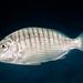 Striped Seabream - Lithognathus mormyrus