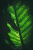 green (paul.wienerroither) Tags: green greenisbeautiful plant leaf light bali tropical closeup close nature natureshots photography canon 50mm 5dmk3 shaddow travel travelphotography