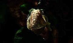 letzte Rose (gabrieleskwar) Tags: outdoor rose wasser regentropfen regen gelb grün blumen blätter licht schatten makro
