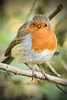 DSC_8222-Edit copy (Cycling Saint) Tags: aylestonemeadows leicester nikond750nikkor70300f456vr birds robin