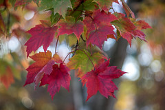 fall leave collection (kderricotte) Tags: autumn fall sony sonya7ii helios40285mm15 helios bokeh depthoffield tree leaves leaf vintagelens