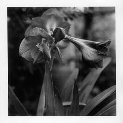 (bamboolizer) Tags: hasselblad503cw carlzeiss120mmf4makrocft 6x6 film kodaktmax400 iso400 develpoment darkroomprinting darkroom bw blackandwhite monochrome ilfordfbprintingpaper flower 120 rollfilm mygarden