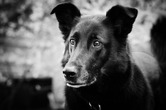 Best Dog Ever (briburt) Tags: briburt pet dog animal portrait bw monochrome personality bestdogever alert hund canine black nikon d7000
