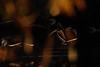 148-Editar.jpg (Kico Lopez) Tags: miño lugo aves galicia birds anasplatyrhynchos rio anadeazulon spain