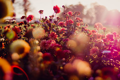 last goodbye (thethomsn) Tags: blossom blurry bokeh color flare floral flowers light nature plants thethomsn vintage pink