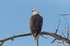Bald Eagle looks skyward