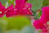 Antillean Crested Hummingbird (Female) (ronmcmanus1) Tags: antigua bird caribbean nature outdoors wildlife jollyharbour stmarysparish antiguabarbuda