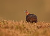 Red Grouse (Martial2010) Tags: red grouse angus glen canon