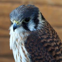 Cooper's Hawk (RJAB2012) Tags: northamerica canada northernmexico hawk birdofprey