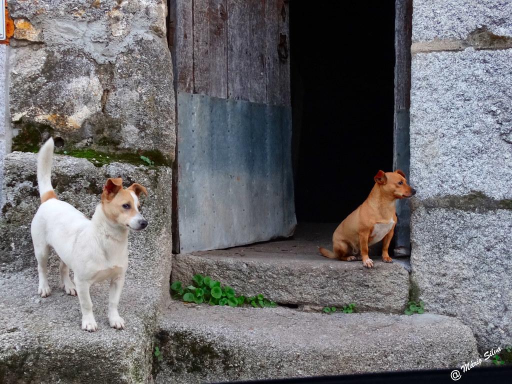 Águas Frias (Chaves) - ... cães à soleira da porta, vigiando ...